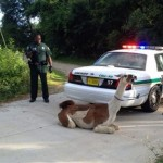 llama in Tallahassee caught using lasso and taser