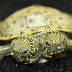 Two-headed turtle because twining process didn't finish