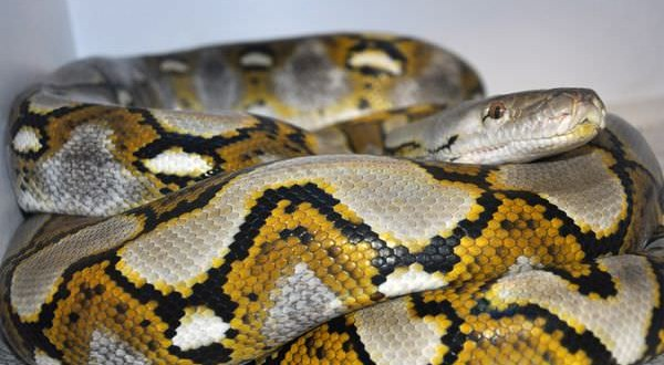 Thelma : Giant python has species' first ever 'virgin birth'