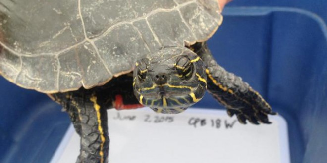 Western painted turtle found in Regina could be largest on record (Photo)