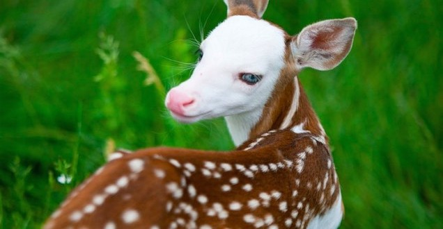 Rare White Faced Deer, rejected by mother, finds new life at animal farm (Video)