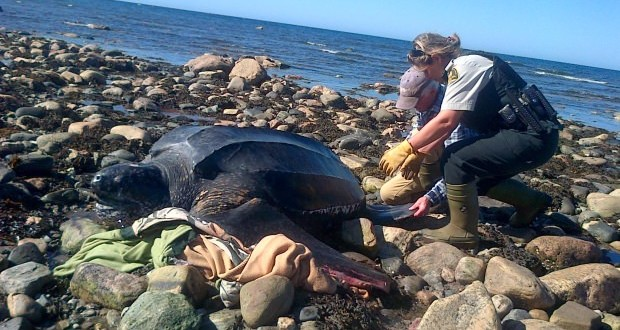 Rare Leatherback turtle rescued from shoreline
