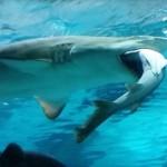 Big Shark Eats Little Shark in Aquarium (Video)