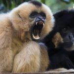 Research shows that last pre-human species smaller than gibbons