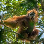 Researchers identify third new orangutan species in Indonesia