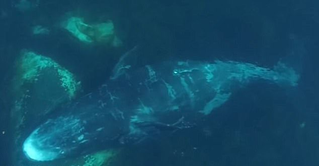 Whales migrate thousands of miles to scratch an itch (Watch)