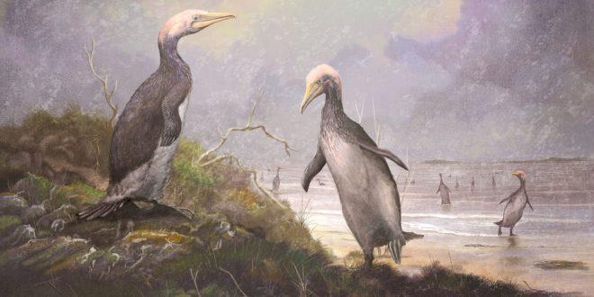 New Zealand's ancient monster penguins had northern hemisphere doppelgangers (Study)